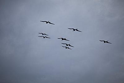 Fregattvögel, Ecuador - p552m1464773 von Leander Hopf