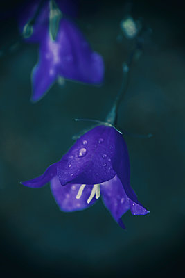 Bellflower, close-up - p879m2204235 by nico