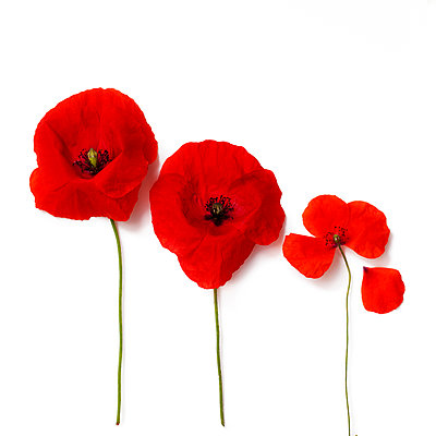 Poppy flowers against white background - p647m1113108 by Tine Butter