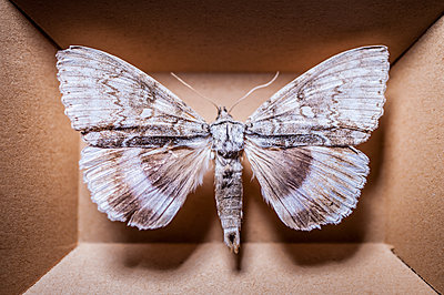 Moth in box - p971m1196158 by Reilika Landen