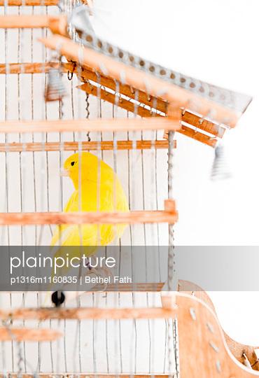 Kanarienvogel in einem Vogelkäfig, Algarve, Portugal - p1316m1160835 von Bethel Fath