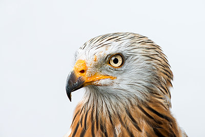Red kite, Milvus milvus - p1437m2057026 by Achim Bunz