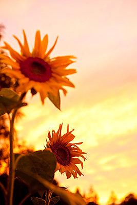 Sunflowers at sunset - p533m1525233 by Böhm Monika