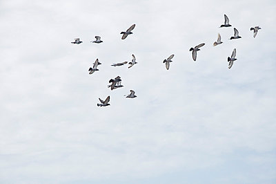 Tauben ziehen - p6460194 von gio