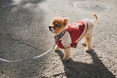 Hund mit Collegejacke - p1345m2065705 von Alexandra Kern