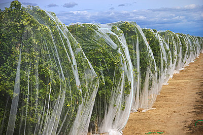 Agriculture - Tangerine orchard covered with bee netting to prevent pollination, thus producing seedless fruit / near Dinuba, California, USA. - p442m1006221 by Steve Goossen