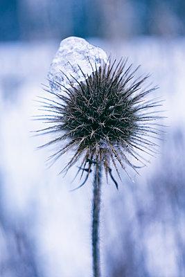 Distel im Winter mit Eis - p609m2248947 by WALSH photography