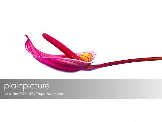 Flamingo flower - p1413m2071107 by Pupa Neumann