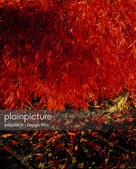 Japanese Maple in Autumn, Lakemount Gardens, Co Cork, Ireland