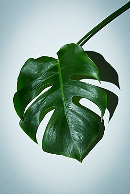 Monstera deliciosa - p1149m1135045 by Yvonne Röder