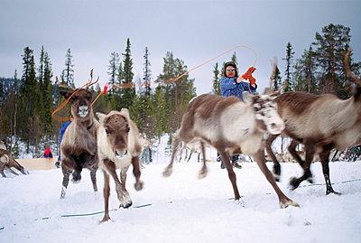Reindeer breeding Lapland Sweden - p5750079f by Kate Karrberg