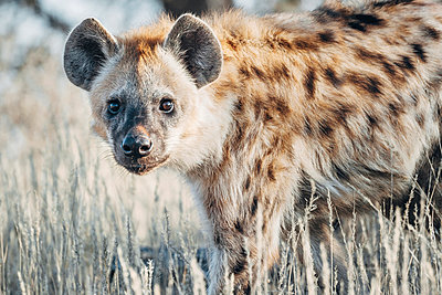 Spotted Hyena - p1065m982681 by KNSY Bande