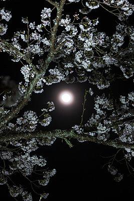 Cherry blossoms - p307m974250f by Tatsuya Fukuda