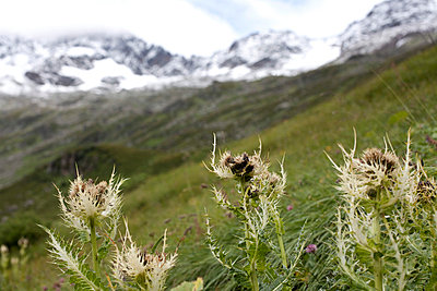 Close-up of flowers in alpine landscape - p388m701584 by Leyens