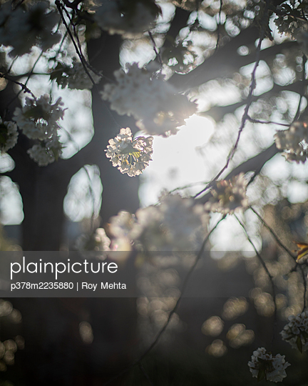 Close-up of tree blossom - p378m2235880 by Roy Mehta