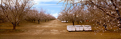 Agriculture, Almond orchard in bloom in late winter with bee hives, Fresno County, San Joaquin Valley, California, USA. - p442m936598f by Charles Blakeslee