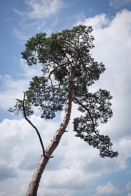 Pine tree - p1149m1152284 by Yvonne Röder