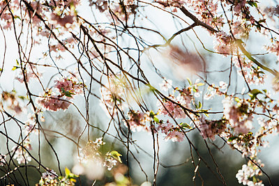 Blossoming Almond Tree - p300m1028841f by Anke Scheibe