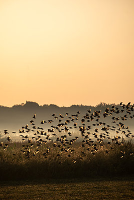 Starling flock in morning fog - p739m2116433 by Baertels