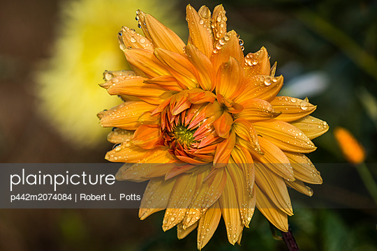 Dew clings to the petals of a yellow dahlia blossom; Astoria, Oregon, United States of America - p442m2074084 by Robert L. Potts