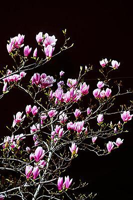 Magnolia flowers - p1312m2164022 by Axel Killian