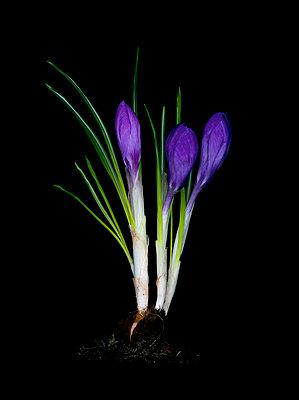 Flowers in studio - p8100026 by Axel Schmidt