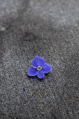 Single forget-me-not flower on a stone surface - p1228m1574406 by Benjamin Harte