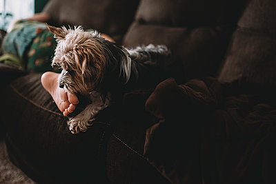 Low section of boy with Yorkshire Terrier relaxing on sofa at home - p1166m1416314 by Cavan Images