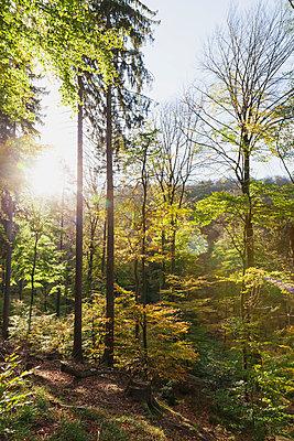 Germany,Rhineland-Palatinate, Pfalz, Palatinate Forest Nature Park in autumn, beech trees - p300m2042010 by Gaby Wojciech