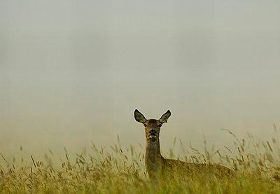 Sweden - Roe deer (Capreolus capreolus) in a forest - p3484712 by Berndt-Joel Gunnarsson