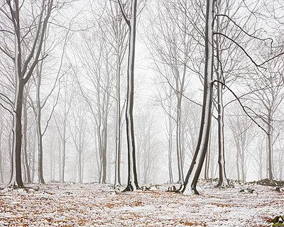 Sweden, Skane, Stenestad, Bare beech trees (Fagus sylvatica) in winter forest - p352m1186974 by Gustaf Emanuelsson