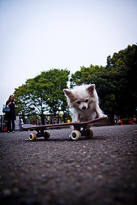A dog rides a skateboard in Yoyogi Park, Tokyo, Japan. - p934m1177238 by Dominic Blewett
