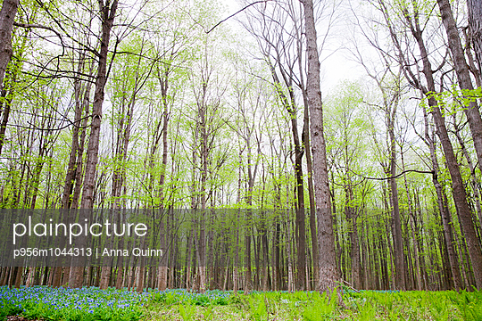 Forest of Bluebell flowers, Rochester, USA - p956m1044313 by Anna Quinn