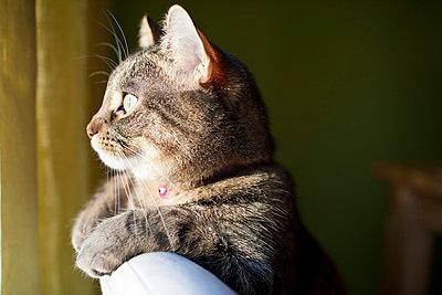 Getigerte Katze mit Perle am Halsband - p5350290 von Michelle Gibson