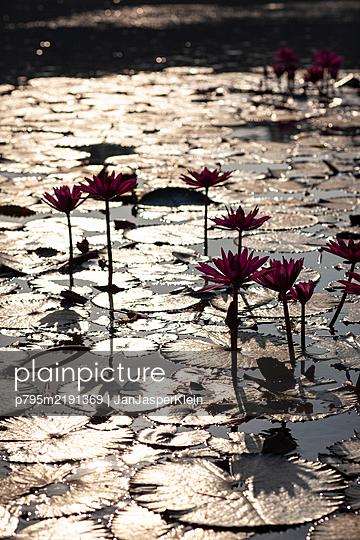 Seerose in Angkor Wat - p795m2191369 von JanJasperKlein