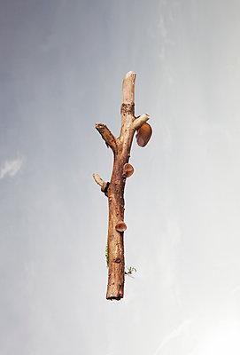 Auricularia auricula-judae - p1670m2263108 by HANNAH