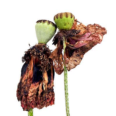 Opium Poppy - p813m857023 by B.Jaubert
