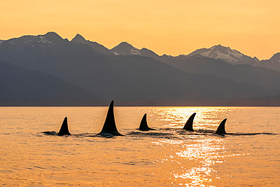 Orca whale (Orcinus orca) pod in Lynn Canal with Chilkat Mountains in the background, Southeast Alaska; Alaska, United States of America - p442m2074247 by John Hyde