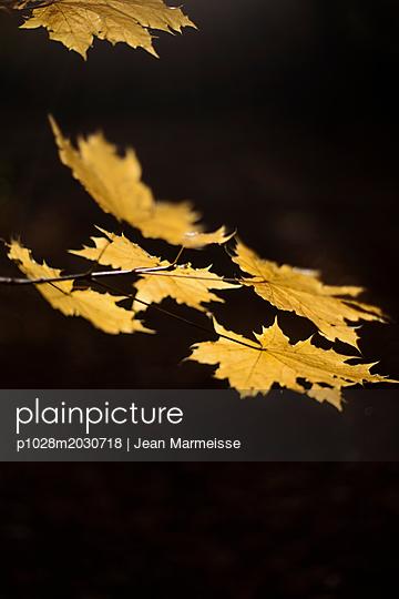 Norway maple leaves (Acer platanoides) - p1028m2030718 von Jean Marmeisse