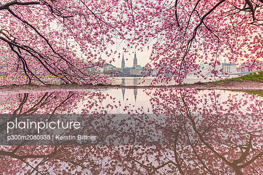 Germany, Hamburg, Germany, Hamburg, blossoming cherry tree at Binnenalster, water reflections of town hall and St. Nicholas' Church - p300m2080938 by Kerstin Bittner