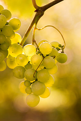 Germany;  Thuringia;  wine leaf with grapes - p300m838661f by isderjens