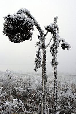Sonnenblume im Winter - p9792080 von Jaeckel