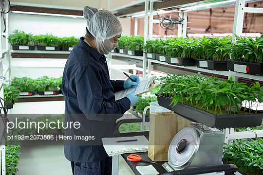 Grower weighing cannabis seedlings - p1192m2073886 by Hero Images