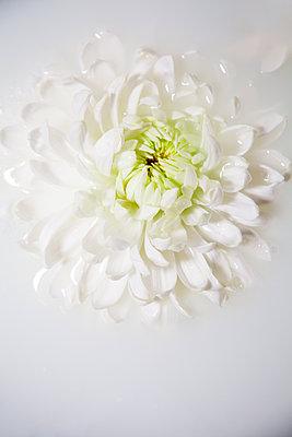 Chrysanthemum in Milky Water - p1248m2281047 by miguel sobreira