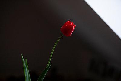 Tulpe in Raum mit Dachschräge - p1650m2230890 von Hanna Sachau