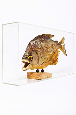 Dangerous fish - p4092560 by timokerber