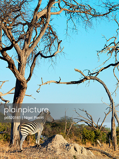 Acacia - p6520161 by Nigel Pavitt