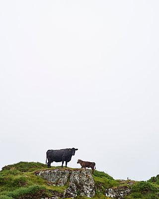 Kuh und Kalb auf Hügel - p1124m1050814 von Willing-Holtz