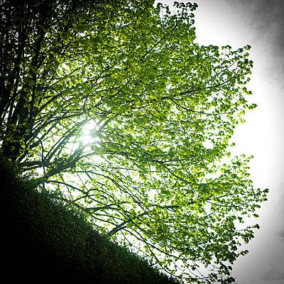 Sun shining through a row of trees. - p813m1039477 by B.Jaubert