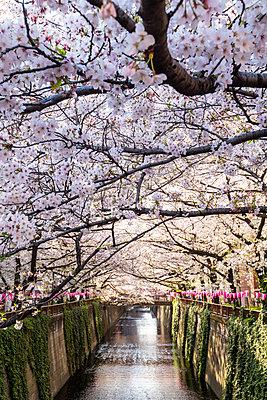 Meguro River during cherry blossom time, Tokyo, Japan - p871m2113486 by Jordan Banks
